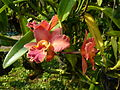Chiang Mai Orchids P1110345.JPG