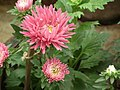 China Aster from Lalbagh flower show Aug 2013 8107.JPG