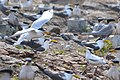 Chinese Crested Tern flying in to nest with Greater Crested Terns, China Sea.jpg