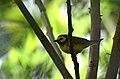Chipe Encapuchado, Hooded Warbler, Wilsonia citrina (11914416075).jpg