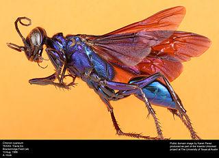 Bộ sưu tập côn trùng 2 - Page 3 320px-Chlorion_Cyaneum