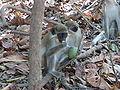 Chlorocebus sabaeus 0126.jpg