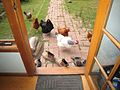 Chooks at the Door (1577568268).jpg