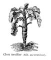 Chou moellier Vilmorin-Andrieux 1904.png