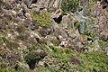 Choughs above Kynance Cove (8102).jpg