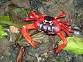 Christmas Red Crab.JPG
