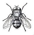 Chrysomya bezziana f.jpg