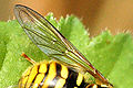 Chrysotoxum.cautum.wing.detail.jpg