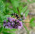 Chrysotoxum festivum - Flickr - gailhampshire (3).jpg