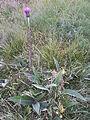Cirsium heterophyllum sl2.jpg
