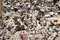 Cladonia parasitica (5969103975).jpg
