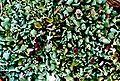 Cladonia sobolescens-1.jpg