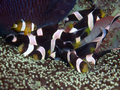 Clark's Anemonefish (School of) 2.png