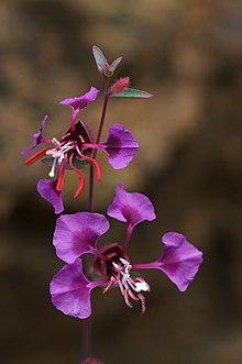 Clarkia Unguiculata Wikipedia