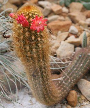 Cleistocactus icosagonus 04.jpg