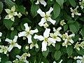 Clematis montana wilsonii1bcballard.jpg