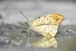Close wing Mud-puddling of Hebomoia glaucippe (Linnaeus, 1758) – Great Orange-tip--WLB DSC 1498-01.jpg