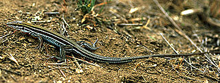 Orange-throated whiptail species of reptile