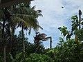 Coconut Tree Cutting - തെങ്ങ് മുറിക്കുന്നു 01.JPG