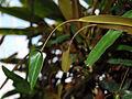 Codiaeum variegatus pictum cv purple bell (2944487950).jpg
