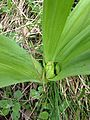 Colchicum autumnale seedpod 02.jpg
