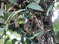 Colibrí coludo azul (Aglaiocercus kingi margarethae) Ejemplar hembra..jpg