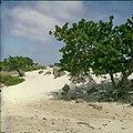 Collectie Nationaal Museum van Wereldculturen TM-20029628 Stranddruif in een duinlandschap Aruba Boy Lawson (Fotograaf).jpg