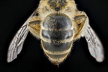 Colletes inaequalis, female, back1 2012-08-10-15.38.49 ZS PMax (7918574678).jpg