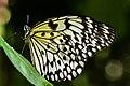 Collodi Butterfly.jpg