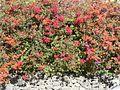 Colorful flowering bush.jpg