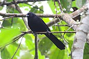 Columbian Mountain Grackle (Macroagelaius subalaris) (8079736640).jpg