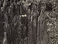 Columbidae - 1905C.jpg