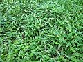 Commelina cyanea habit1 (8423153916).jpg