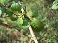 Commiphora wightii 01.JPG