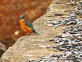 Common Kingfisher Odisha India.jpg