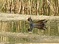 Common Moorhen (Gallinula chloropus) (27158524433).jpg