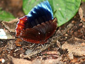 Description de l'image Common Palmfly Im IMG 6967.jpg.