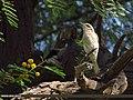 Common Woodshrike (Tephrodornis pondicerianus) (15708065369).jpg