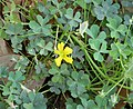 Common Yellow Woodsorrel (Oxalis corniculata or O. stricta) (38311733664).jpg