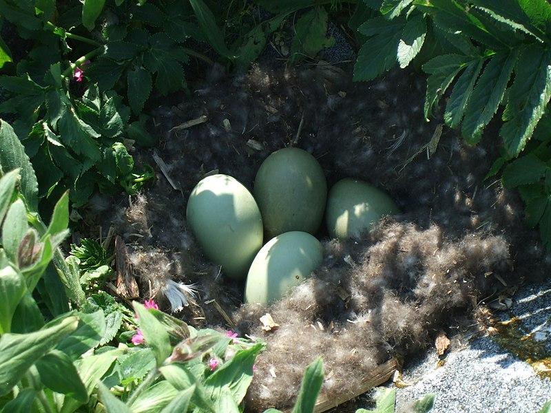 File:Common eider nest.JPG