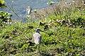 Common greenshank (Tringa nebularia) SRI 18.jpg