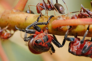 Sap - Leafhoppers feeding on sap, attended by ants