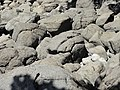 Concretions at hot water Beach 4.JPG