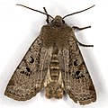 Conistra rubiginosa01(js), Lodz(Poland).jpg