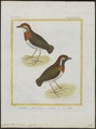 Conopophaga aurita - 1700-1880 - Print - Iconographia Zoologica - Special Collections University of Amsterdam - UBA01 IZ16400341.tif