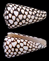 Conus MarmoreusProfils