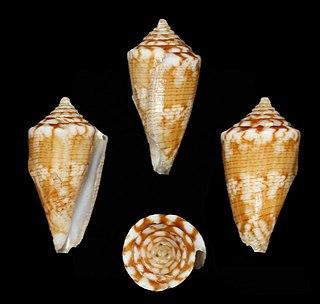 <i>Conus brunneofilaris</i> Species of sea snail