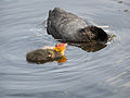 Coot, with young (14379555444).jpg