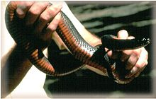 Copperbelly water snake.jpg