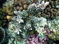 Coral reefs papua.JPG